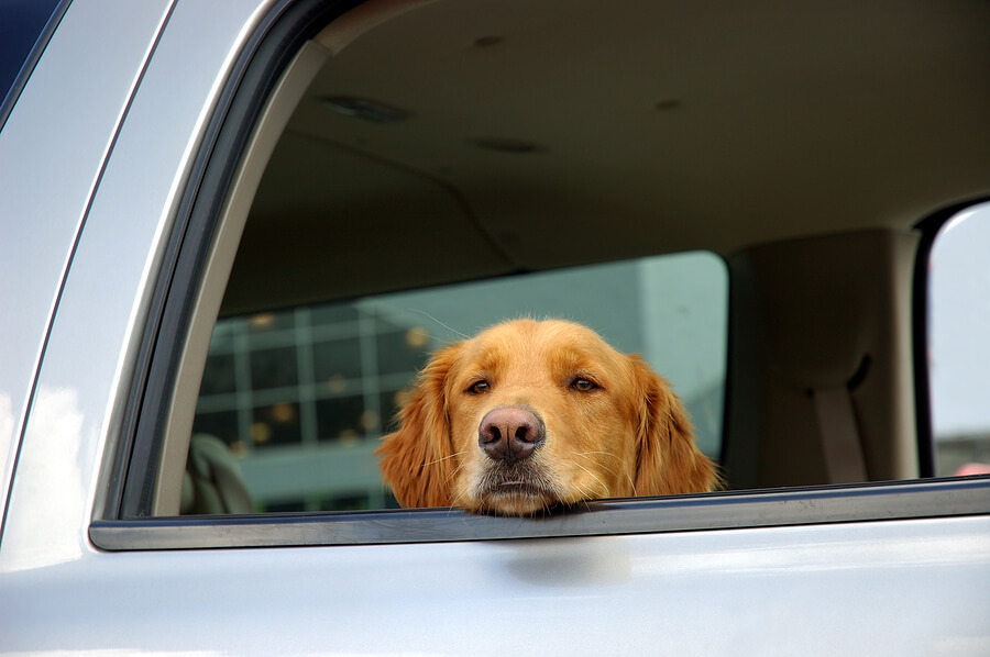 Dog in car trying to keep cool
