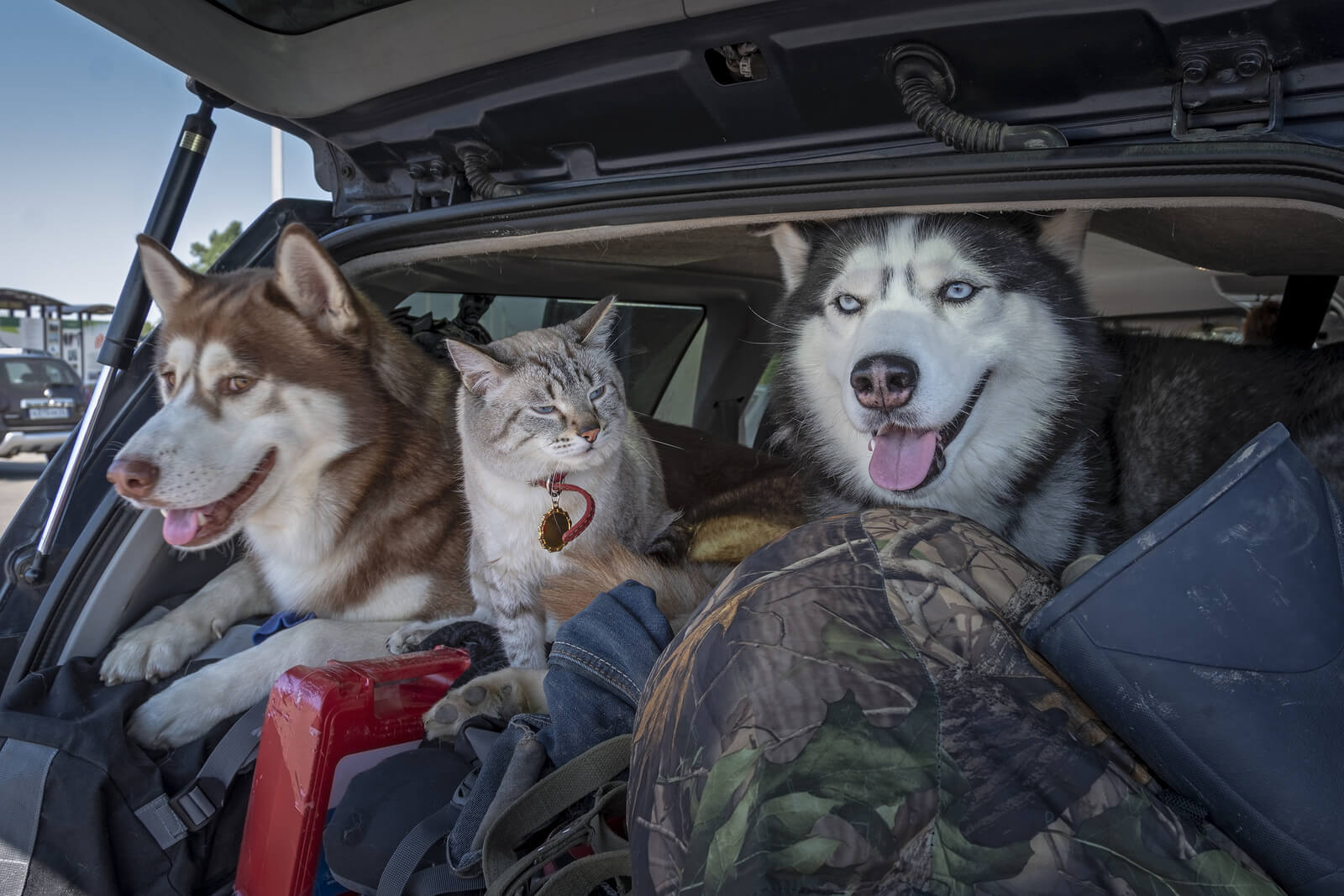 Two husky dogs and a white and grey cat in the boot of a car driving after Brexit
